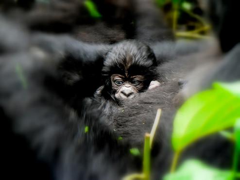Gorilla Baby Ndeki