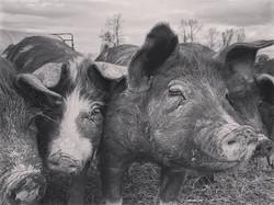Camera hogs 😁  #pasturedpork #iamamoder