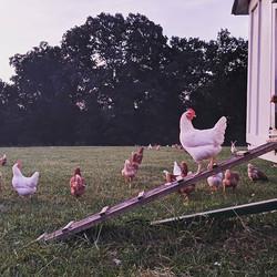 Good morning hens #freerangechickens #ha