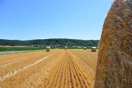 Récolte de céréales pour sa valorisation alimentaire