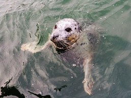 Friendly seals in the Bay.