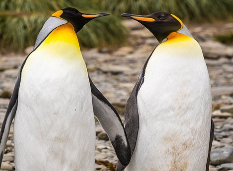 Gay Penguins Caught Stealing Eggs Again