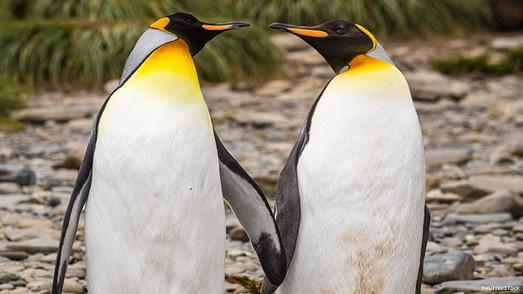 Gay Penguins Caught Stealing Eggs Again