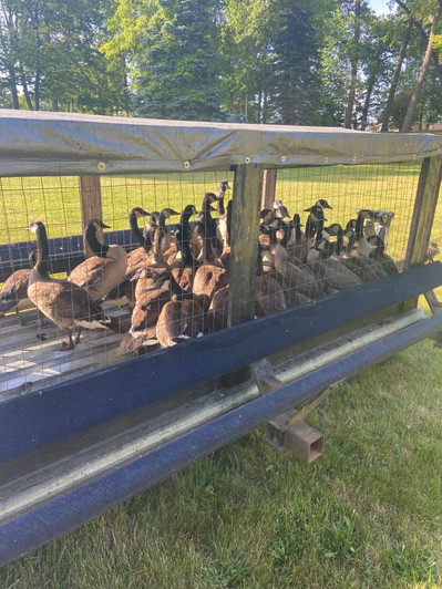 Goose Roundup 2021 5.jpg