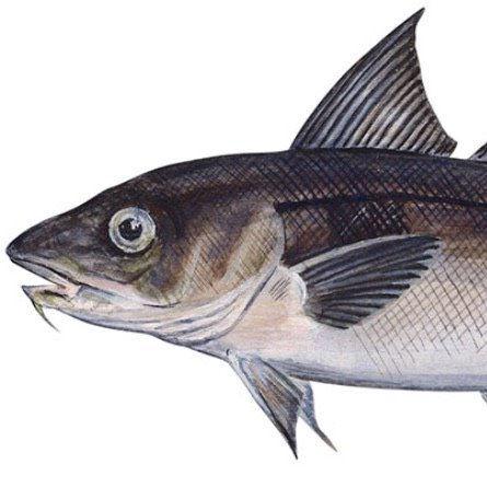 6am 3/4 day Haddock, 4 anglers