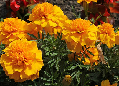 free%20marigolds_edited.jpg