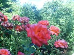 Roses Roses!