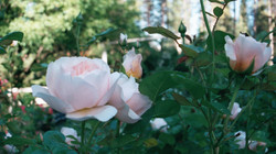 A perfect pink rose