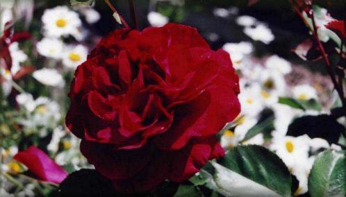 Roundelay rose