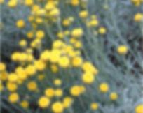 Santolina shrub