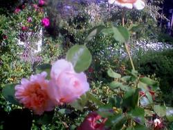 Roses nestle in