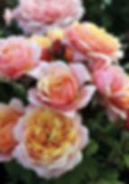 State O Grace Grandiflora Rose