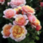 StateOfGraceGrandifloraRose.jpg