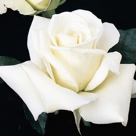 Kennedy rose
