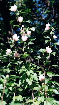 Rose of Sharon