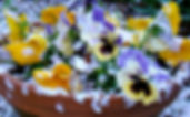 Pansies in snow