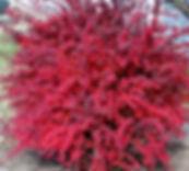 barberry2.jpg