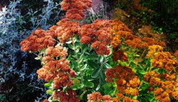 Autumn Sedum Joy