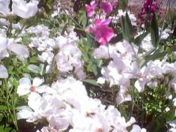 Jezebel rose with Sweetpeas