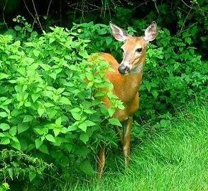 Deer will eat your plants