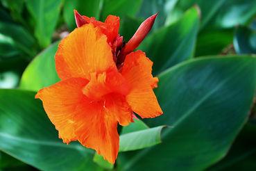canna-plant-floweringFREE.jpg
