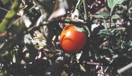 Champion tomato