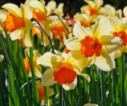 daffodils-glowingfree.jpg