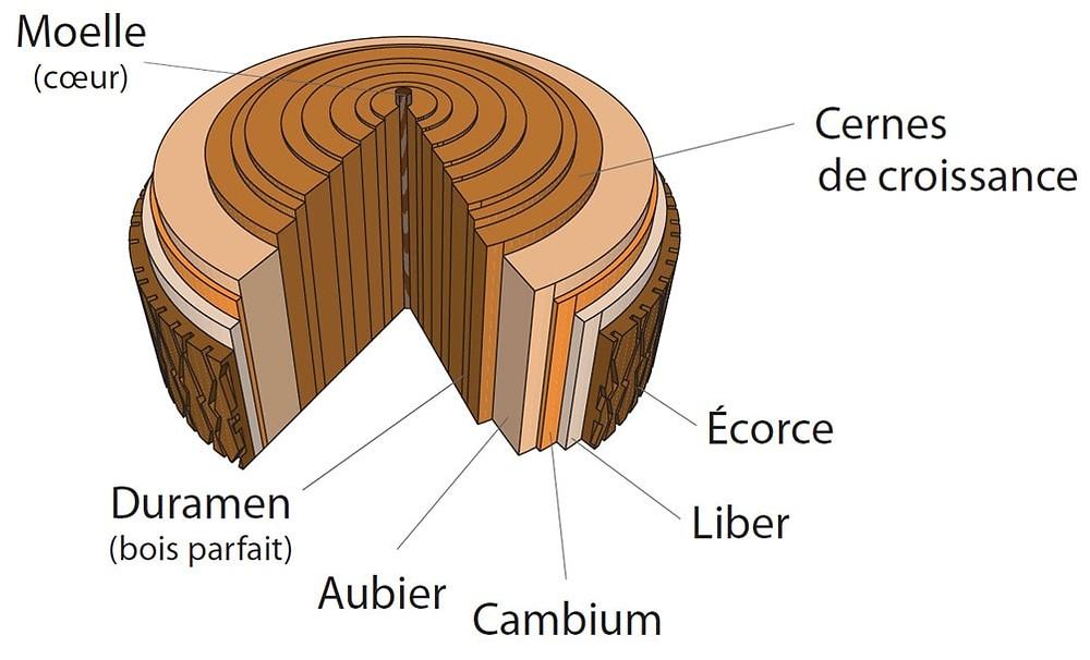 arbre, tronc, aubier, liber, duramen, ecorce, moelle, cernes de croissance