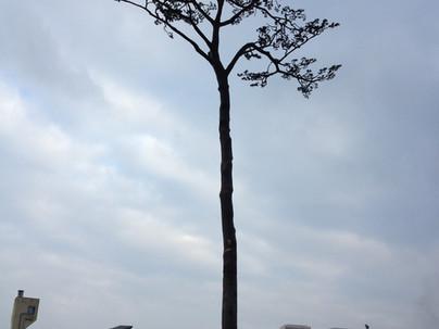 Still Standing Trees  立ち尽くす木