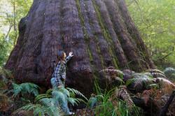 Large Tingle Tree