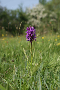 Southern Marsh Orchid by Ed Drewitt