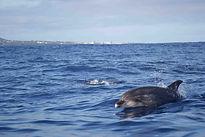 Bottlenose Dolphin, Azores by Ed Drewitt