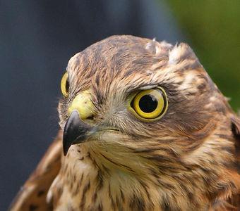 Sparrowhawk by Ed Drewitt