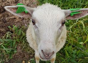 lammas.jpg