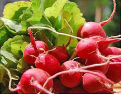 radis-rouge