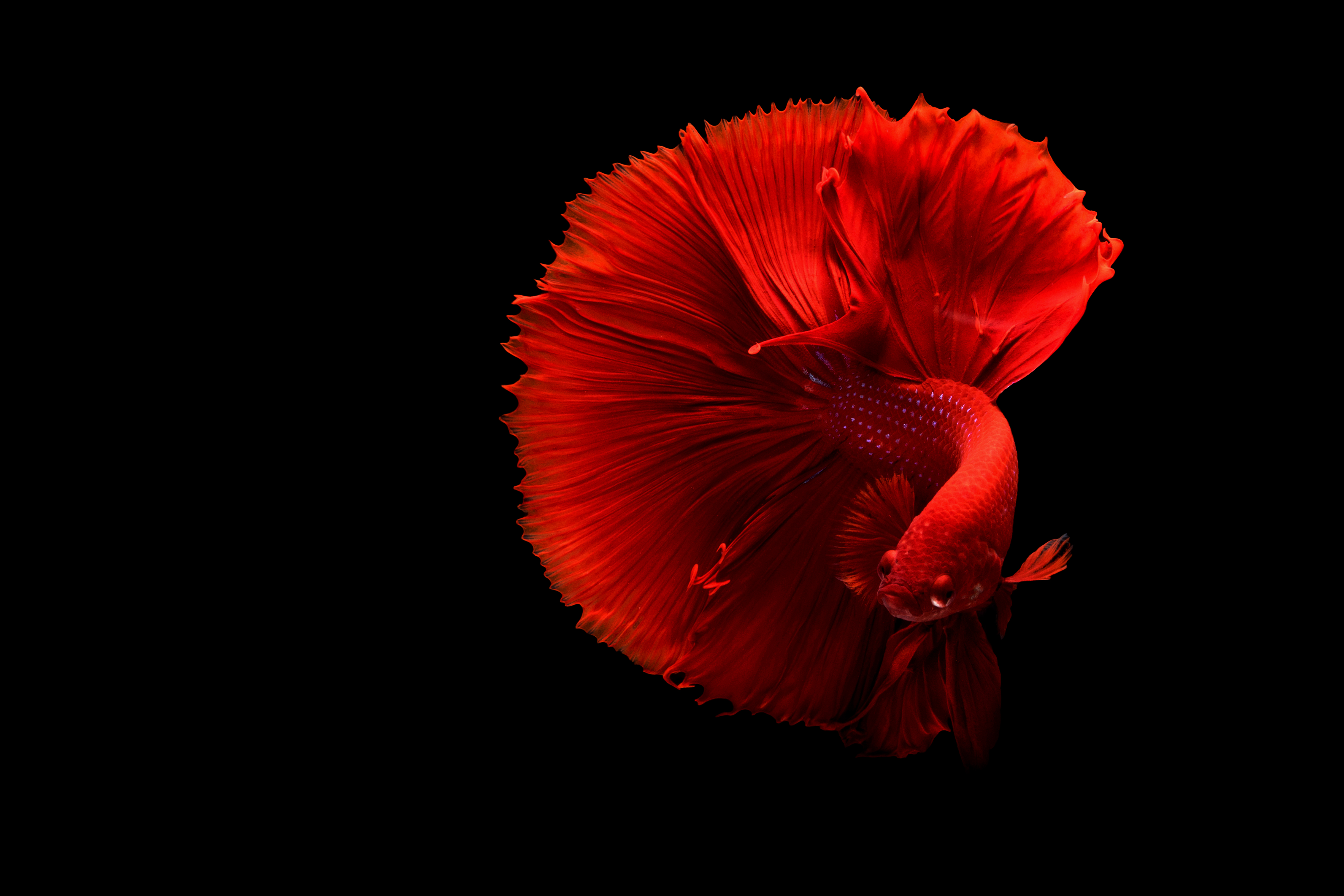 fish | a fighting fish in the Web Ocean