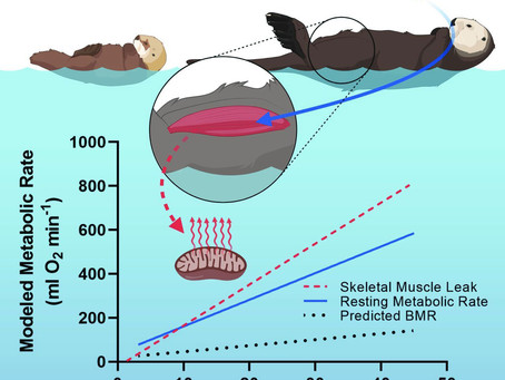 Skeletal muscle thermogenesis enables aquatic life in the smallest marine mammal