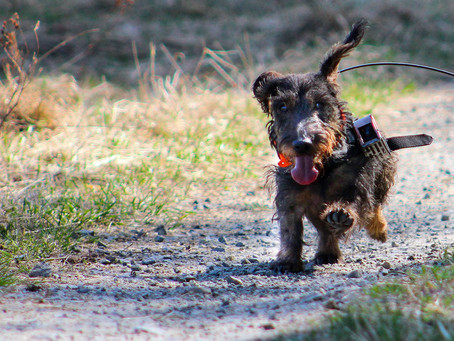 Dogs may use Earth's magnetic field to take shortcuts