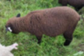 Babydoll Ewe Lamb