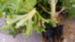 Parasitic wasp eggs on a caterpillar