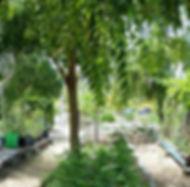 neem, natural pesticide, tree, leaves, IPM