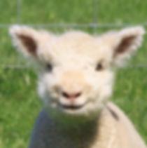 babydoll lamb.jpg
