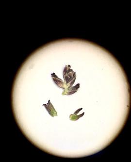 Myrothamnus flabellifolia: desiccated female inflorescence