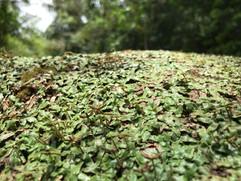 Marchantia inflexa: natural population in Trinidad