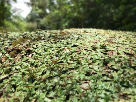 Marchantia inflexa: natural population in Trinidad