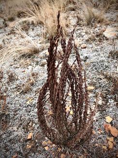 Desiccated Myrothamnus flabellifolia