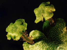 Marchantia inflexa: female sex structures
