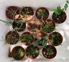 community of resurrection plants