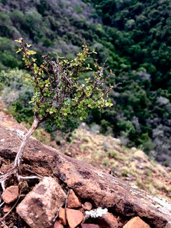 Bonsai Myrothamnus flabellifolia