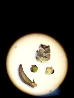 Myrothamnus flabellifolia: desiccated male inflorescence